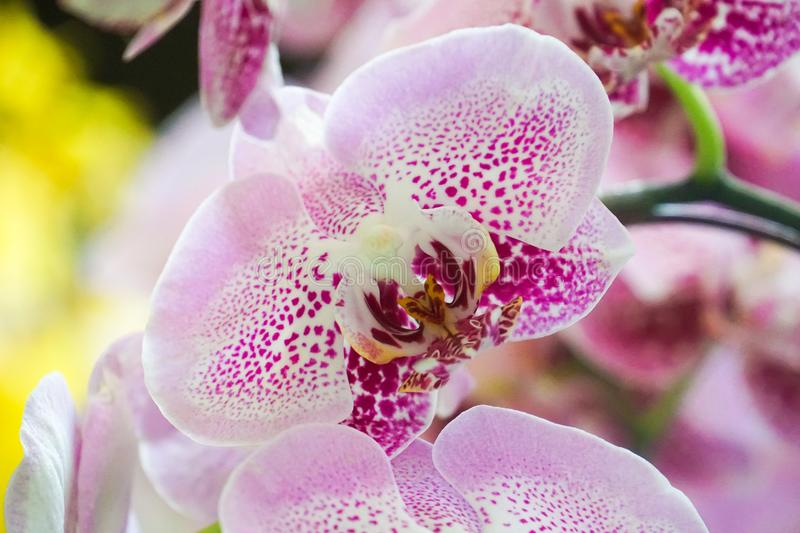 Purple white orchid close up stock image