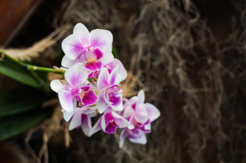 Purple white orchid close up royalty free stock photo
