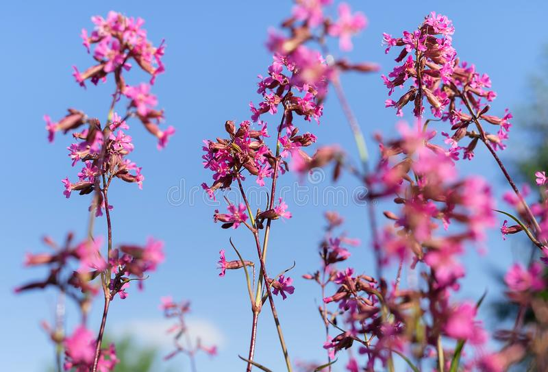 Beautiful purple wild flowers blossoms in evening sunset light of summer garden against blue sky. royalty free stock images