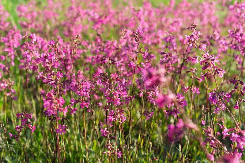 Beautiful purple wild flowers meadow in sunset evening light. Nature background. royalty free stock photo