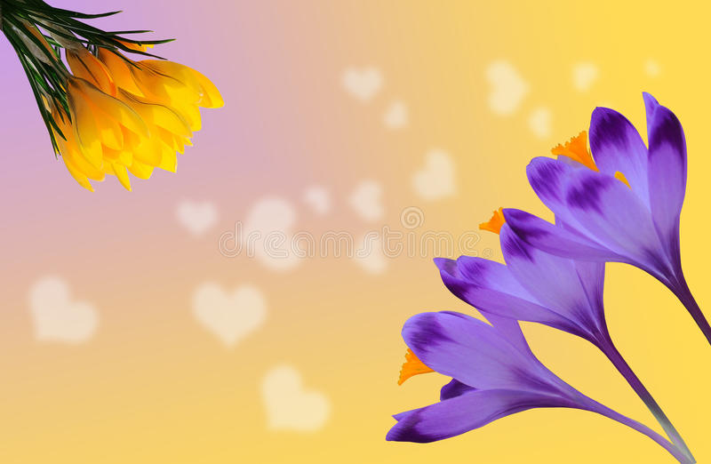 Beautiful purple and yellow crocuses on colorful background with white hearts stock image