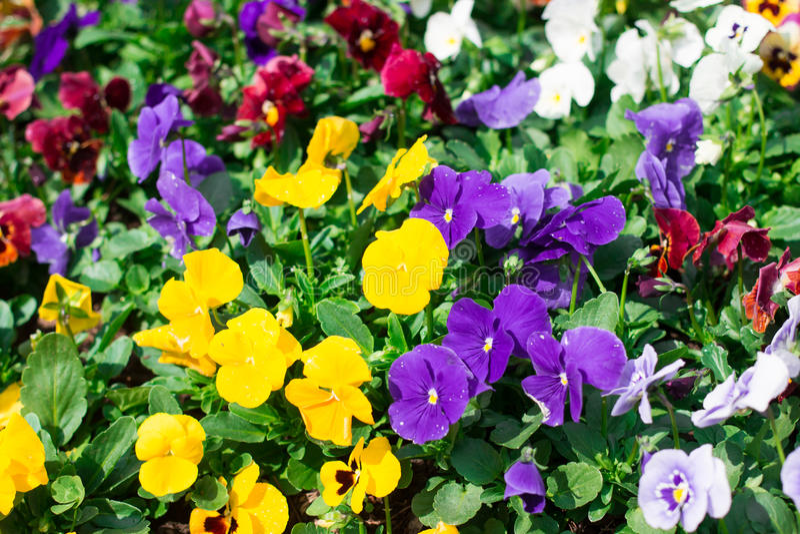 Beautiful purple and yellow flowers stock photo image of aster download beautiful purple and yellow flowers stock photo image of aster iris 49812382 mightylinksfo