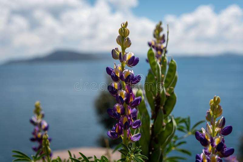 In bloom on Lake Titicaca's Sun Island royalty free stock photo