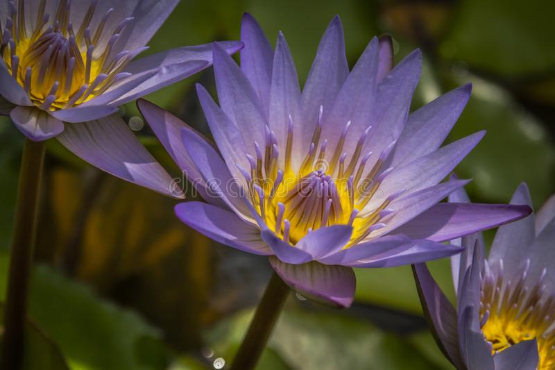 Beautiful Water Lilies Close-up royalty free stock image