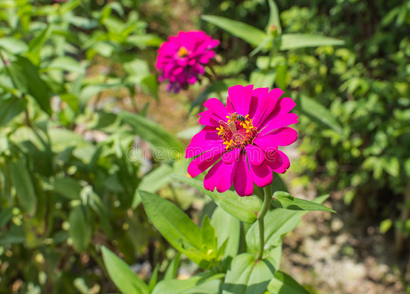 Beautiful purple zinnia elegans flowers in a public park. stock photography