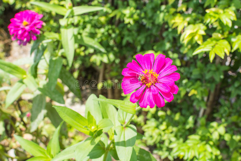 Beautiful purple zinnia elegans flowers in a public park. royalty free stock image