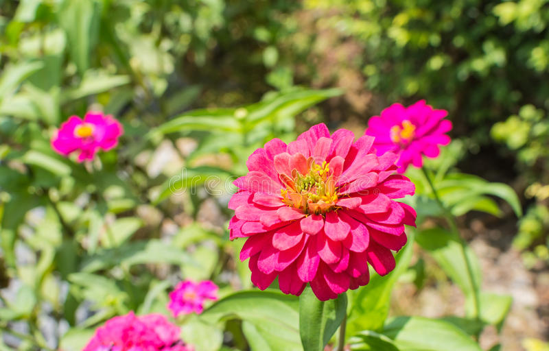 Beautiful purple zinnia elegans flowers in a public park. royalty free stock images