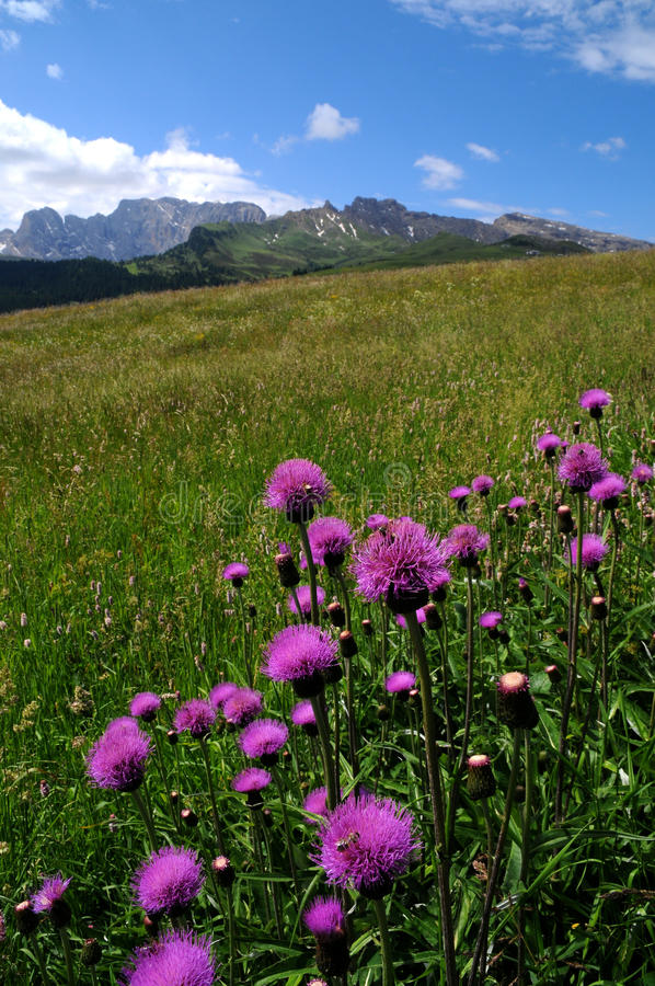 Download Beautiful Purples Flowers In Dolomites Stock Image - Image: 83715485