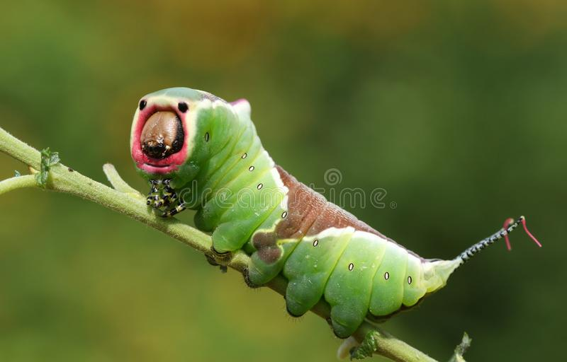 A stunning Puss Moth Caterpillar Cerura vinulais perching on a twig in woodland . royalty free stock photos