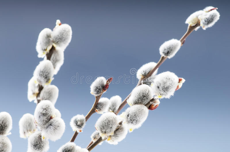 Beautiful willow flowers. Branches stock images