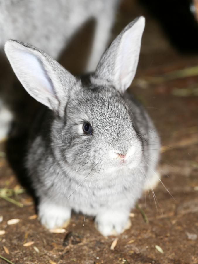 Beautiful rabbit on the farm stock photography