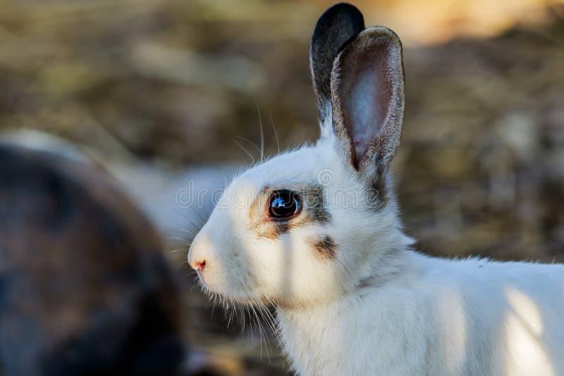 Beautiful rabbit on the farm. royalty free stock photos