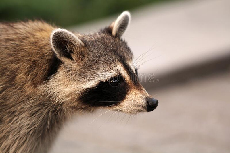 Beautiful Raccon crossing the street in Montreal in Canada stock photography