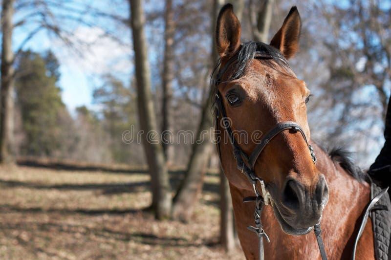 Beautiful race horse stock image