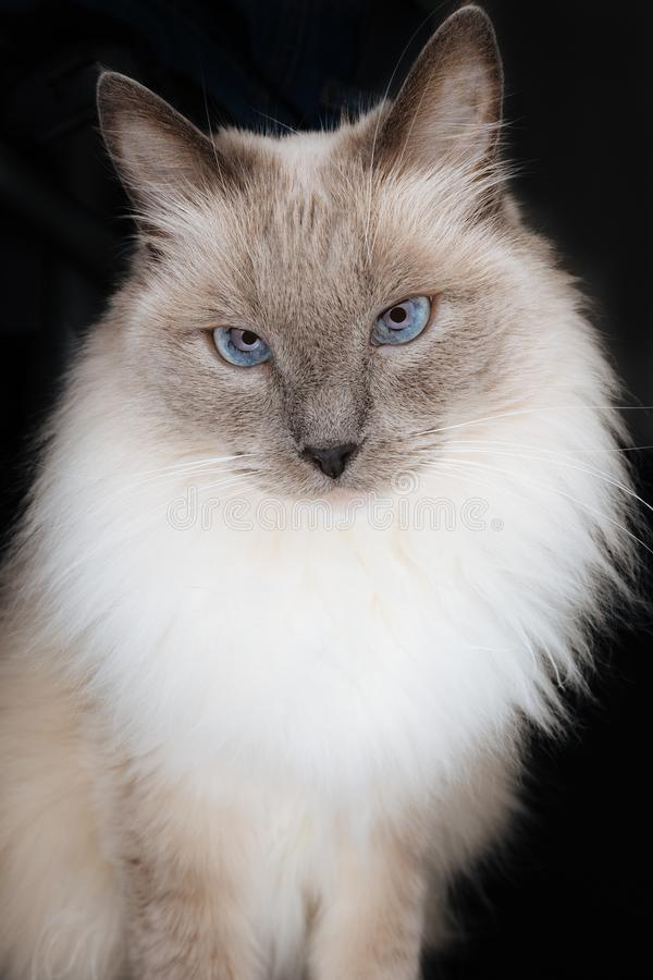 Beautiful Ragdoll Cat model with face looking directly in the camera with beautiful charming, curious and hypnotizing look royalty free stock image