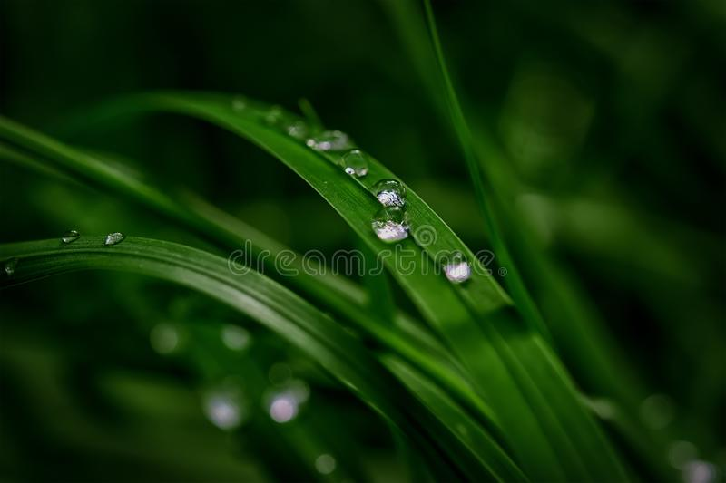 Beautiful rain dew drops on a dark green grass leaves in sun light. Nature background closeup. Copy space. Template for design gre stock images