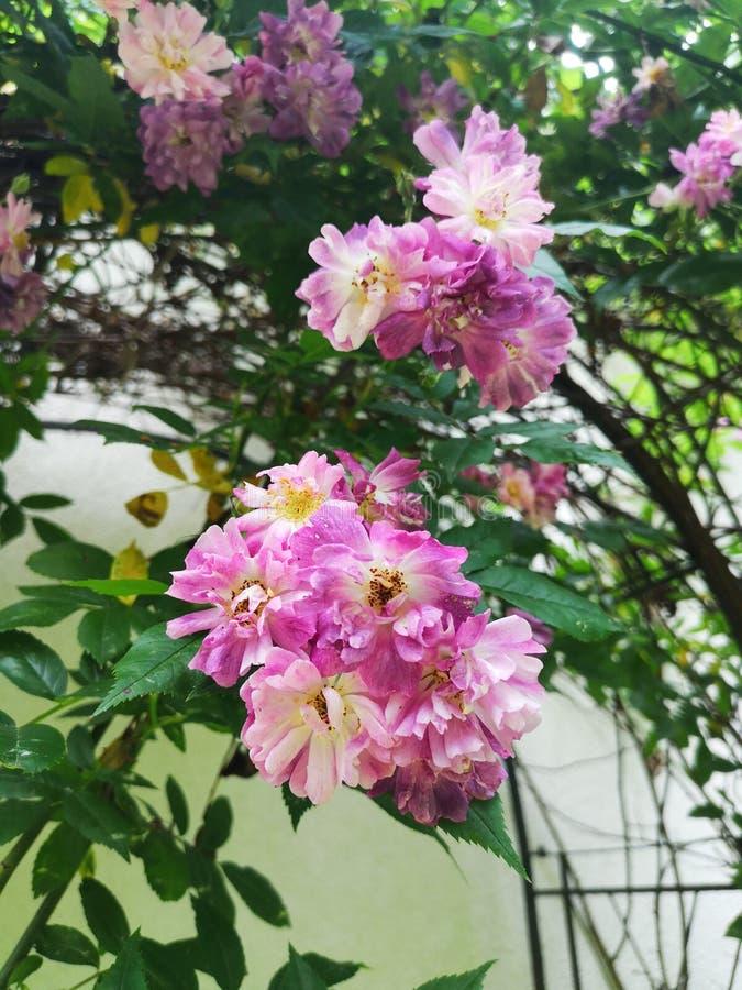 Beautiful rambler purple rose in garden. stock photo