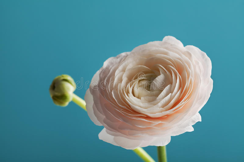 Beautiful ranunculus against turquoise background, spring flower stock photos