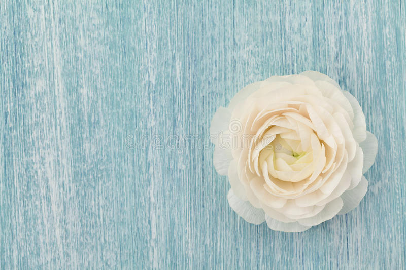 Beautiful ranunculus on blue shabby background, spring flower, vintage card. Copy space for text, top view stock photos