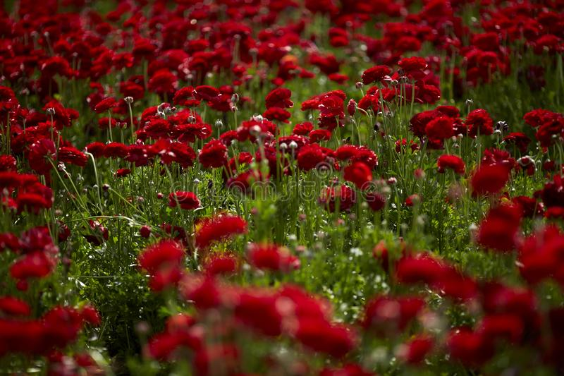 Beautiful Ranunculus flowers in a field aka buttercup flower, blooms in vibrant warm red color. Spring time. Beautiful bright red buttercup in the meadow. Spring stock photo
