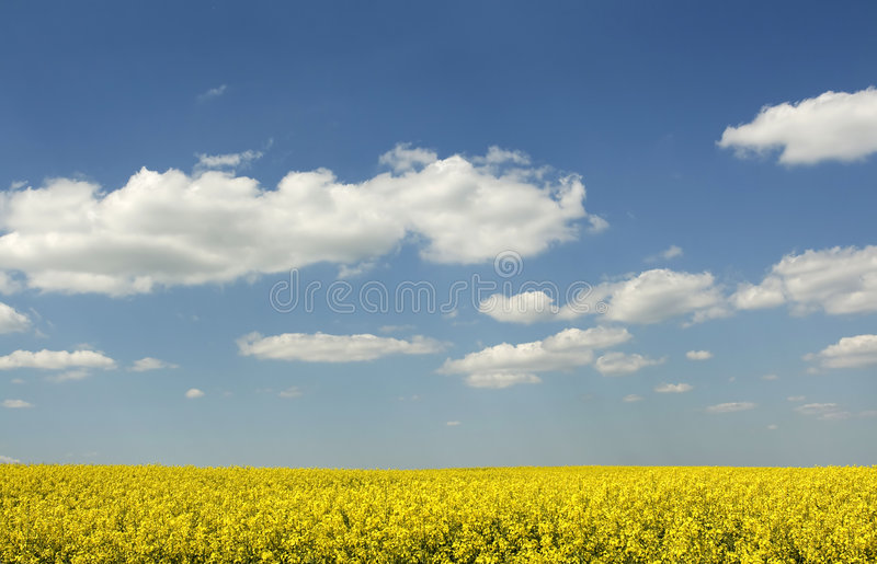 Download Beautiful (canola) field stock photo. Image of farming - 5033842