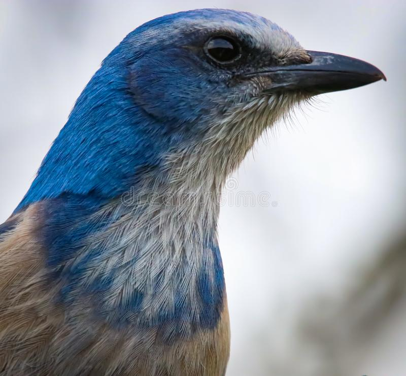 Beautiful Rare and Endangered Florida Scrub Jay in Central Florida royalty free stock image