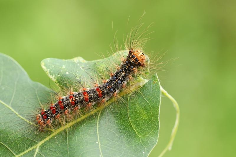 A beautiful rare Gypsy Moth Caterpillar Lymantria dispar feeding on an oak tree leaf in woodland. A pretty rare Gypsy Moth Caterpillar Lymantria dispar feeding royalty free stock photo