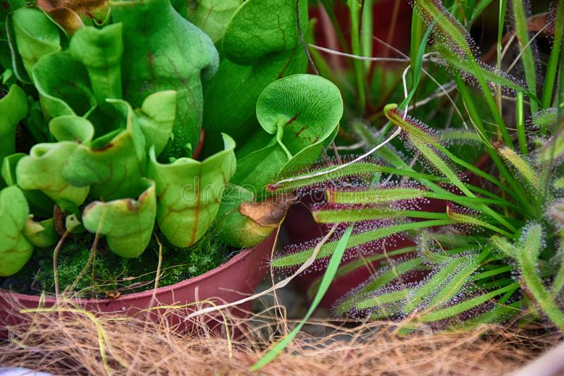 Rare original insectivorous plant in the natural environment in close-up. Beautiful rare original insectivorous plant in the natural environment in close-up royalty free stock images