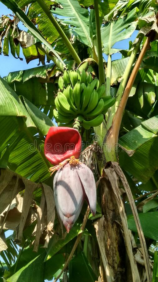 Beautiful raw banana hand hanging from banana plant with a red cover covering the flower in the former farm. kushinagar village royalty free stock image