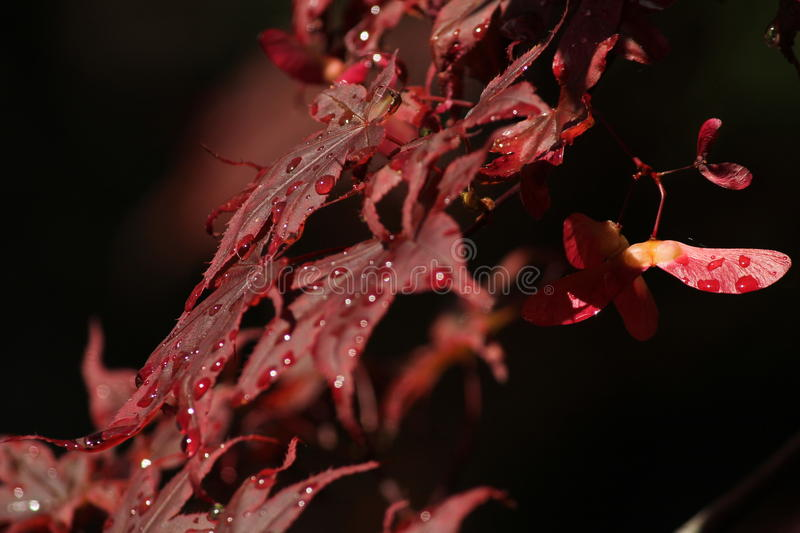 Beautiful Red Acer stock photography