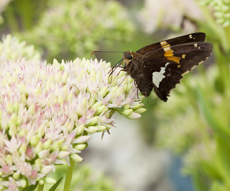 Download Beautiful Red Admiral Butterfly On Sedum Bl Stock Photo - Image: 15820650