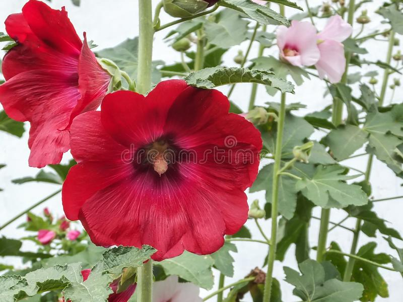 Beautiful red Alcea rosea, Pink Malva or Hollyhock with huge flower  in the garden. Tall flower Hollyhock will decorate any garden. Selective focus stock images