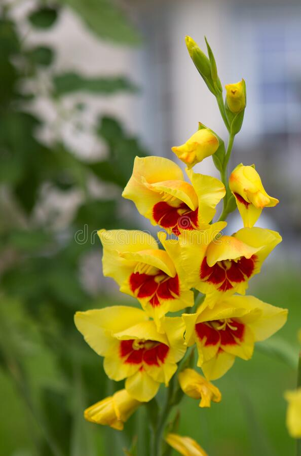 Free Beautiful Red And Yellow Gladiolus Flower In The Garden Stock Images - 195697714