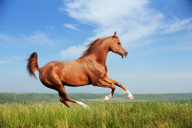 Beautiful red arabian horse running gallop stock photos