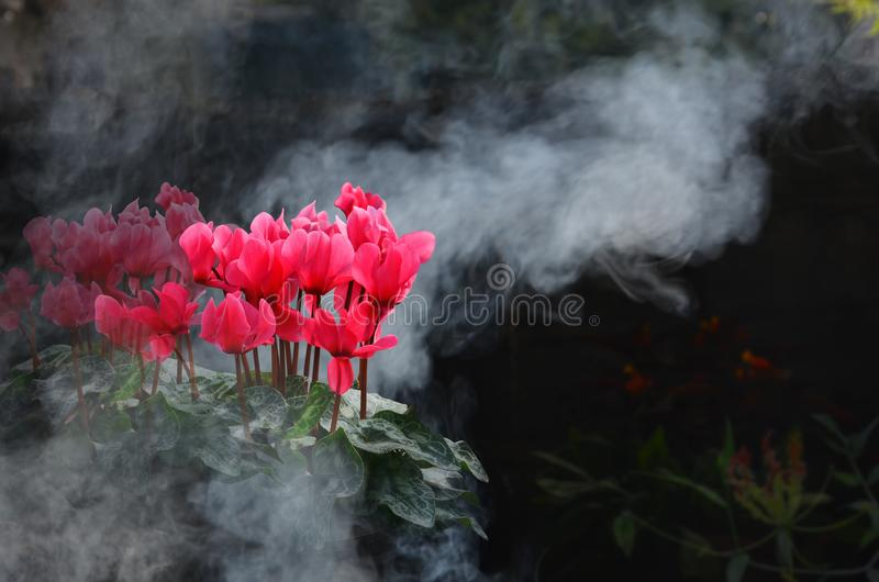 Beautiful red begonia flowers in the smoke royalty free stock photos