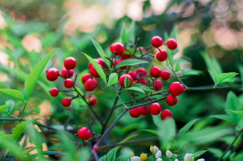 Beautiful red berries against a glowing bokeh stock photos
