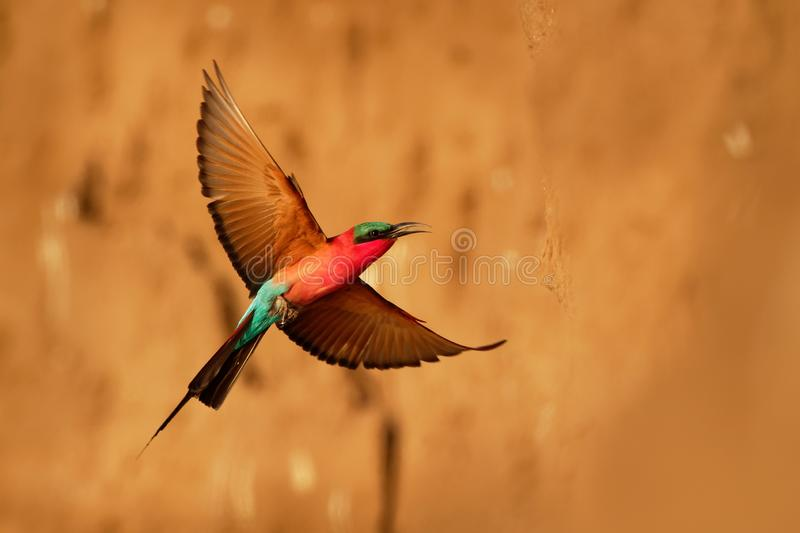 Beautiful red bird - Southern Carmine Bee-eater - Merops nubicus nubicoides flying and sitting on their nesting colony in Mana. Pools Zimbabwe, Africa royalty free stock image