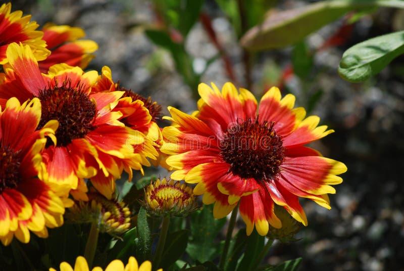 Beautiful Red BLanket Flowers in a Garden. Blooming red blanket flowers all in bloom stock photography