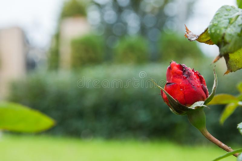 Beautiful red bud rose in the garden with rain drops, selective focus.  royalty free stock image
