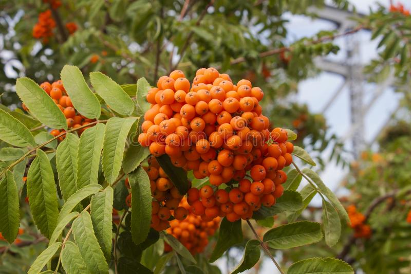 Beautiful red bunches of mountain ash on a tree with green leaves royalty free stock images