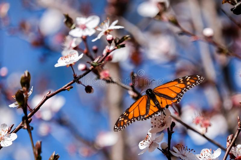 Beautiful red butterfly and branch of blossoming cherry in spring with blue sky background macro. Amazing elegant artistic image royalty free stock photos