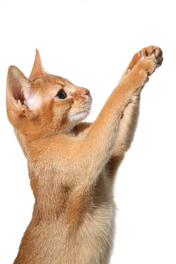 Free Beautiful Red Cat Royalty Free Stock Image - 8164936