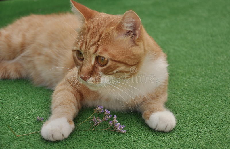 Beautiful red cat royalty free stock photography