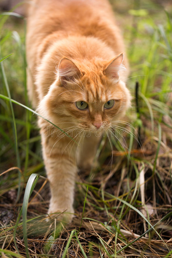 Beautiful red cat on the grass stock photography