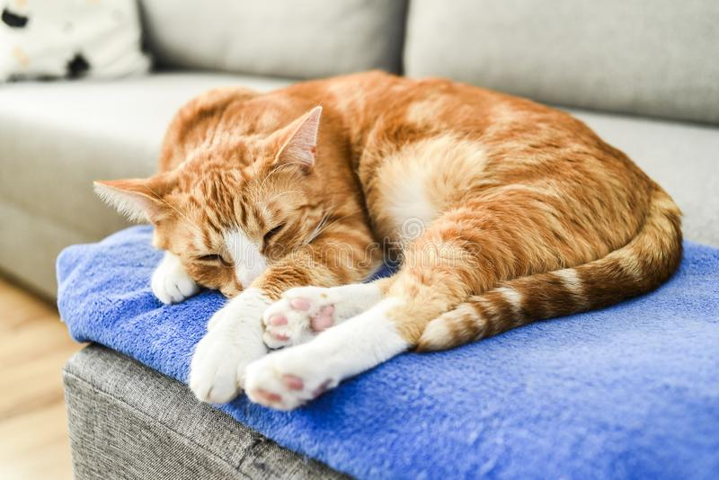 A beautiful red cat lying down and relaxing at home. stock images