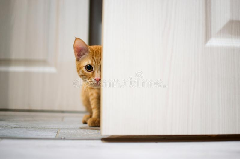 Beautiful red cat royalty free stock photo