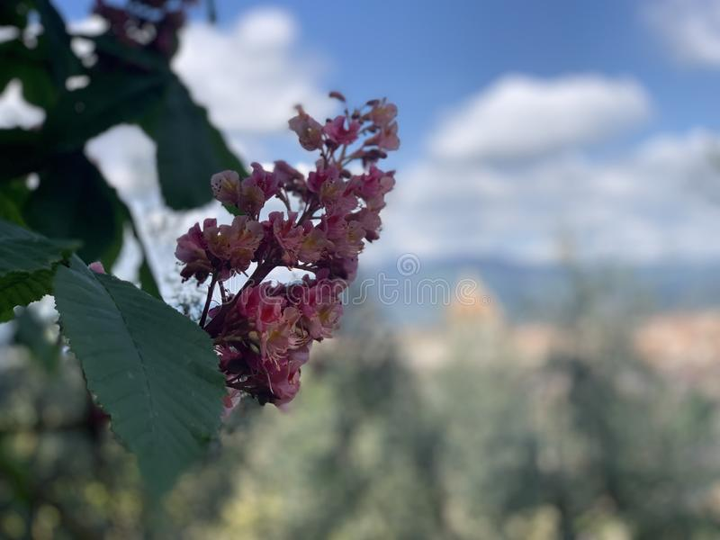 Beautiful red chestnut blossom with tiny tender flowers and green leaves background. Pink chestnut flower with selective focus. royalty free stock photography