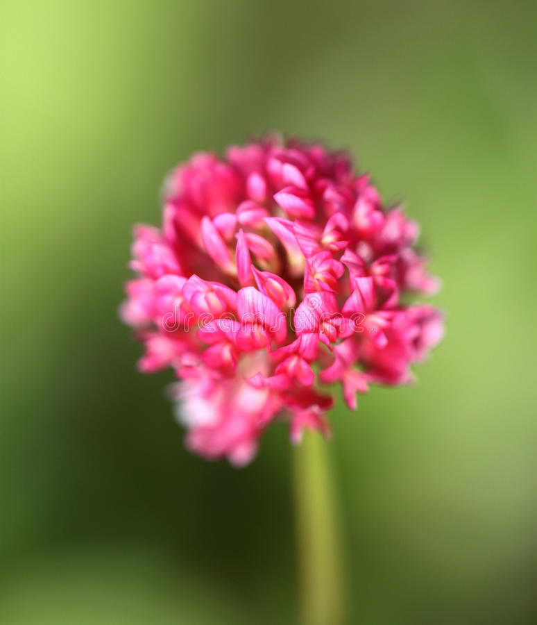 Download Beautiful red clover stock image. Image of green, monoculture - 33996631