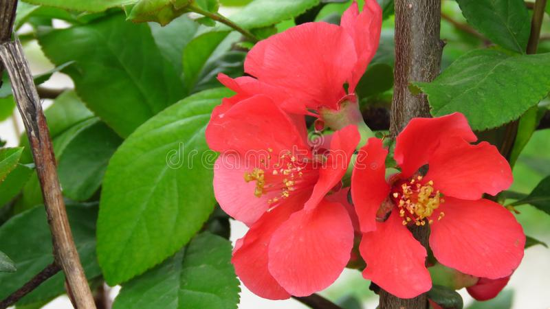 Beautiful Red Colour Blooming Bush Shrub. Chaenomeles japonica 'Sargentii' / Japanese Quince. Beautiful Red Colour Blooming Bush Shrub with Green royalty free stock photos