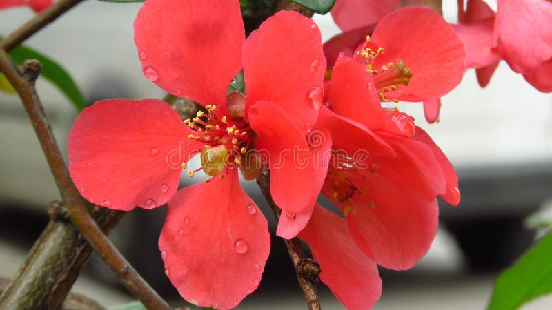 Beautiful Red Colour Blooming Bush Shrub. Chaenomeles japonica 'Sargentii' / Japanese Quince. Beautiful Red Colour Blooming Bush with Green Leaves royalty free stock image